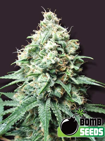 Bomb Seeds Kush Bomb Regular