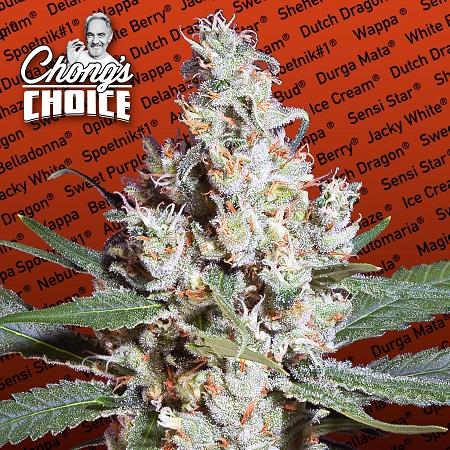 L.A. Amnesia - Feminized - Chong's Choice - Paradise Seeds
