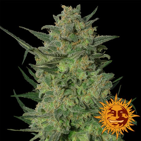 Barney's Farm Seeds L.S.D. Feminized