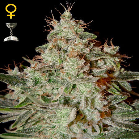 Green House Seeds Lemon Skunk Feminised