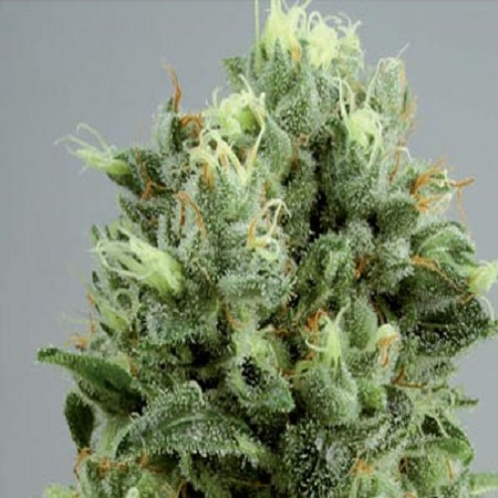 De Sjamaan Seeds Lemon Bud Feminised