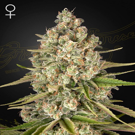 Lost Pearl - Feminized - Green House Seeds