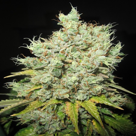 Ultra Genetics Seeds MAK 10 Regular