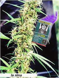 Mr Nice Seeds La Nina Regular