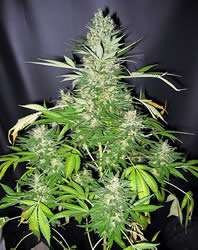 Mr Nice Seeds Master Kush x Skunk