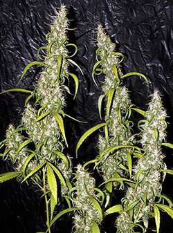 Mr Nice Seeds Neville's Haze Regular