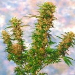 Sagarmatha Seeds Mangolian Indica Regular