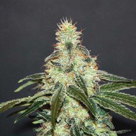 Kannabia Seeds Mataro Blue CBD Feminized