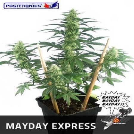 Positronics Seeds May Day Express Auto Feminized (PICK N MIX)