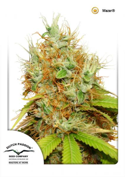 Dutch Passion Seeds Mazar Regular