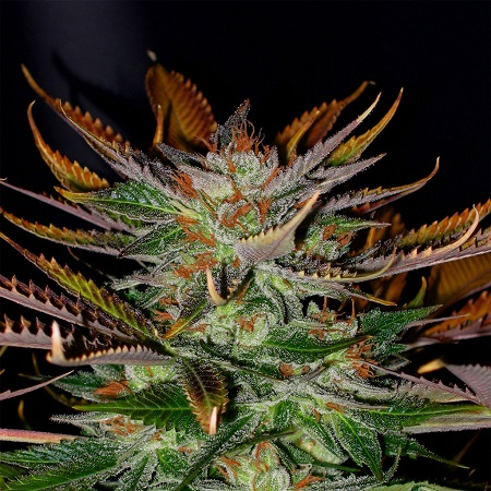 Kannabia Seeds McEarly Regular