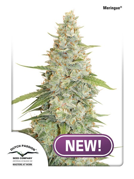Dutch Passion Seeds Meringue Feminized