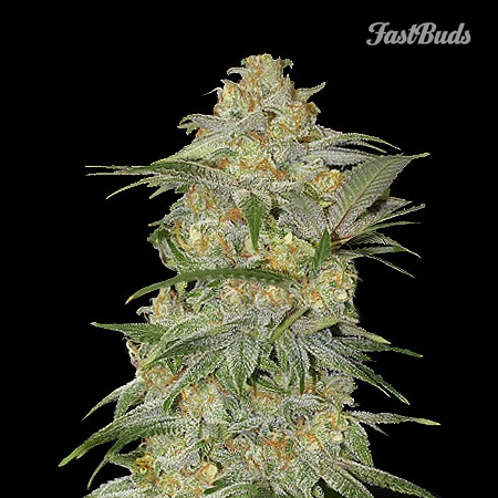 FastBuds Seeds Mexican Airlines Auto Feminized (PICK N MIX)