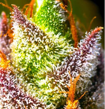 Mimosa - Feminized - BSB Genetics