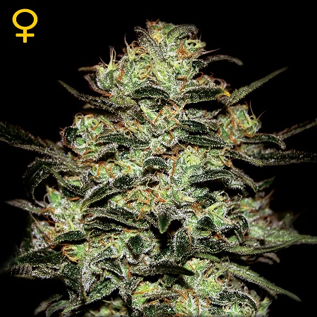 Green House Seeds Moby Dick Feminised