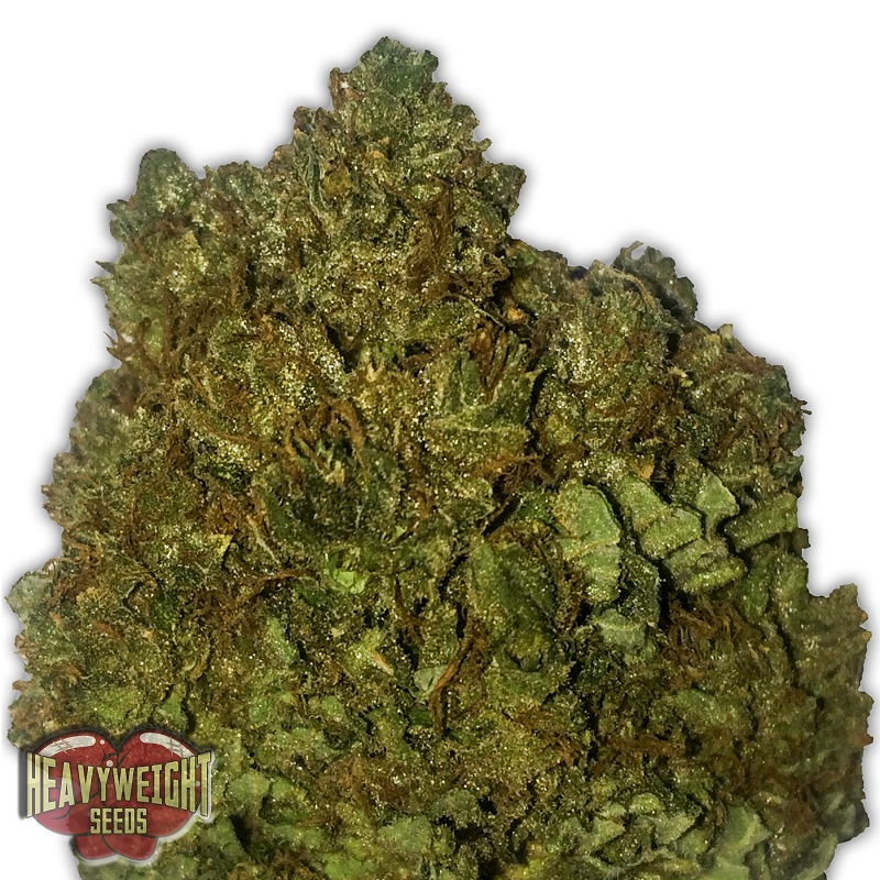Heavyweight Seeds Money Bush Feminized