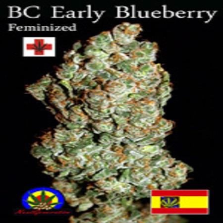 Next Generation Seeds BC Early Blueberry Feminized