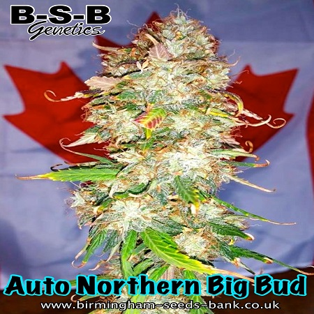 Northern Big Bud Auto - Feminized - BSB Genetics