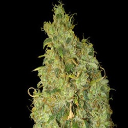 World of Seeds Medical Collection Northern Lights x Skunk Feminized