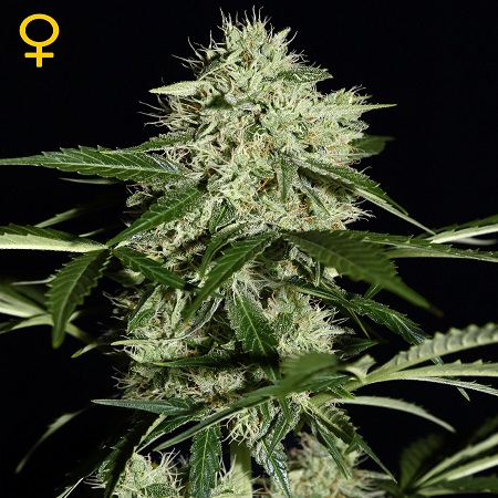 Green House Seeds Northern Lights Auto Feminised