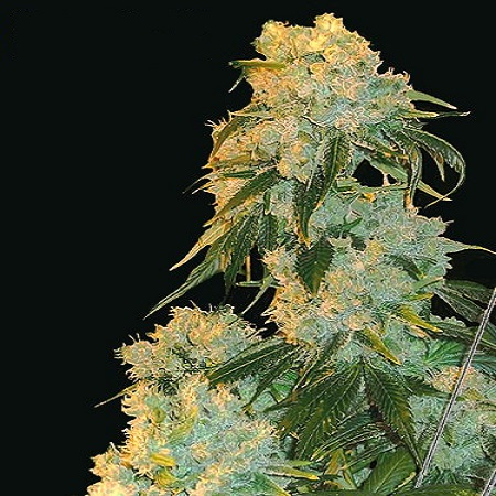 Bulk Seeds Northern Lights Feminized