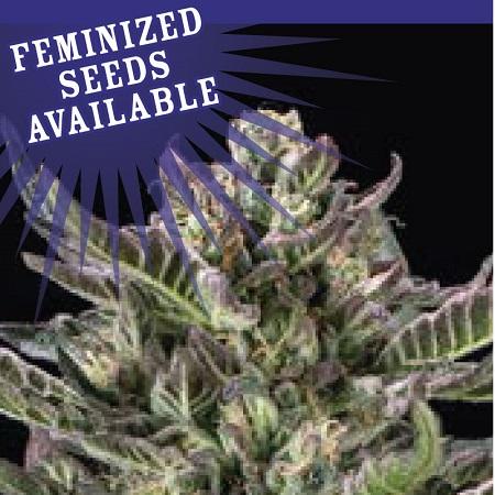 Notorious THC - Feminized - Humboldt Seed Company