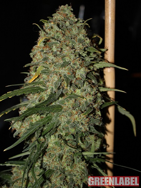 Green Label Seeds Easy Skunk Feminized
