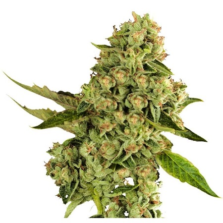 Dispensario Seeds O.G. Cheese Feminized