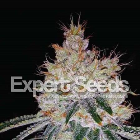 OGesus Auto – Feminized – Expert Seeds