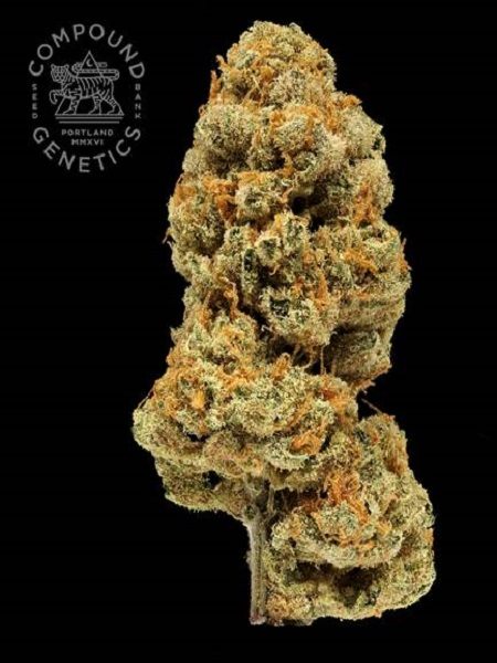 Compound Genetics Seeds Orange Apricot Bx1 Regular