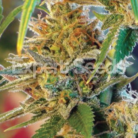 Expert Seeds Orange Skunk Feminized