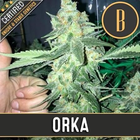 Orka - Feminized - BlimBurn Seeds
