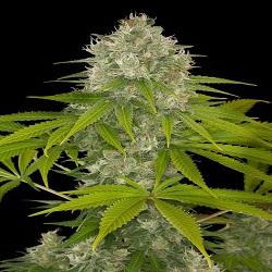 Dinafem Seeds Power Kush Feminized (PICK N MIX)