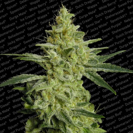 Paradise Seeds Allkush Feminized