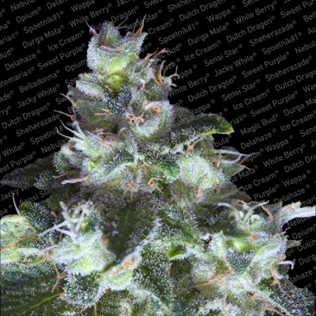 Paradise Seeds Original White Widow IBL Feminized