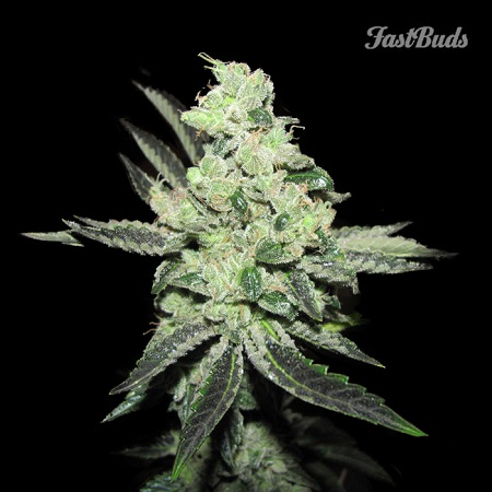FastBuds Seeds Pineapple Express Auto Feminized (PICK N MIX)