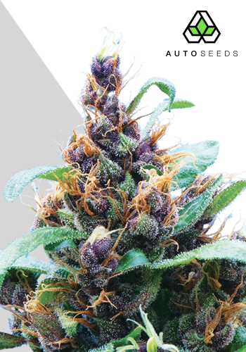 Auto Seeds Purple Stilton Auto Feminised