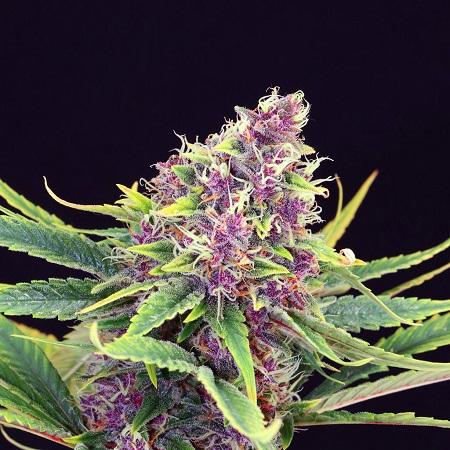 Kannabia Seeds Purple Kush Feminized