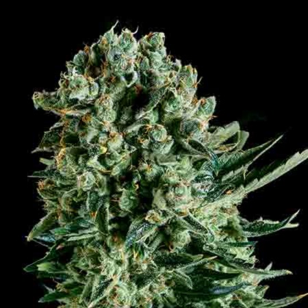 SuperCBDx Seeds Queen Mother x SCBDx Feminized (PICK N MIX)