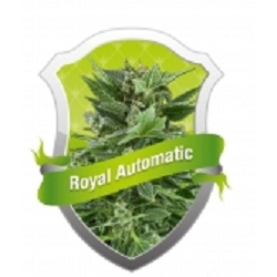Royal Queen Seeds Royal Kush Automatic Feminized (PICK N MIX)