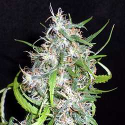 Royal Queen Seeds Special Kush #1 Feminized (PICK.N.MIX)