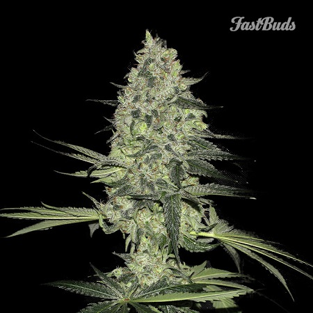 FastBuds Seeds Rhino Ryder Auto Feminised (PICK N MIX)