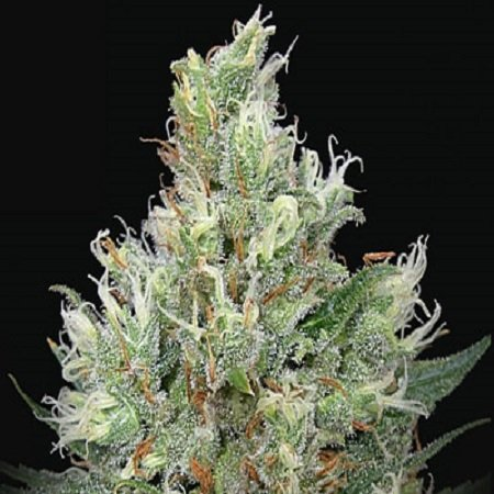 Ripper Seeds Ripper Haze Feminised