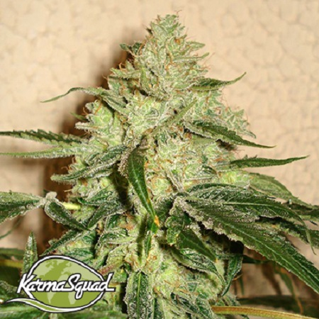 Karma Squad Seeds RoadDawg Regular