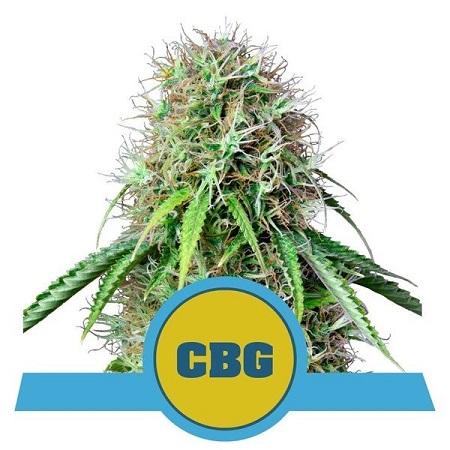 Royal CBG Auto - Feminized - Royal Queen Seeds