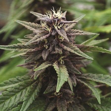 Royal Purple Kush CBD - Feminized - Emerald Triangle Seeds