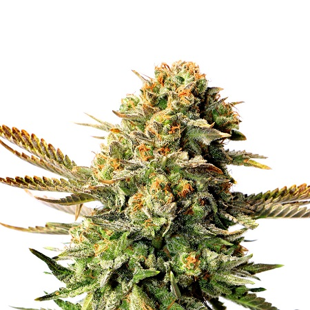 Kannabia Seeds Russian Doll Feminized
