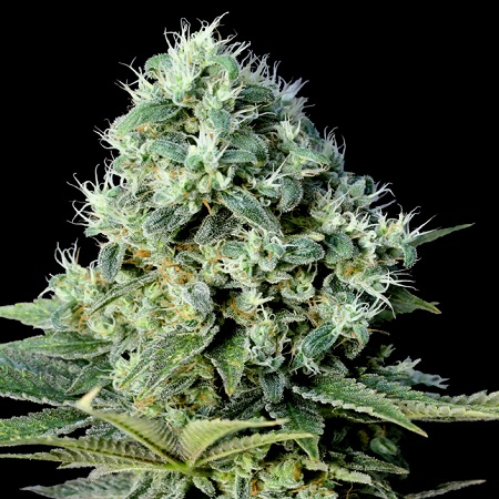 Genehtik Seeds Super Silver Bilbo Feminised (PICK N MIX)