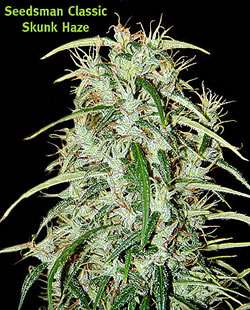 Seedsman Skunk Haze Regular