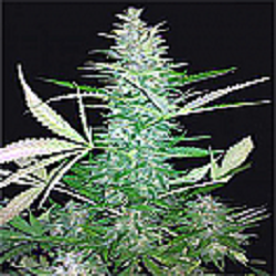 Seeds of Life Big Low Auto Feminized Pick N Mix